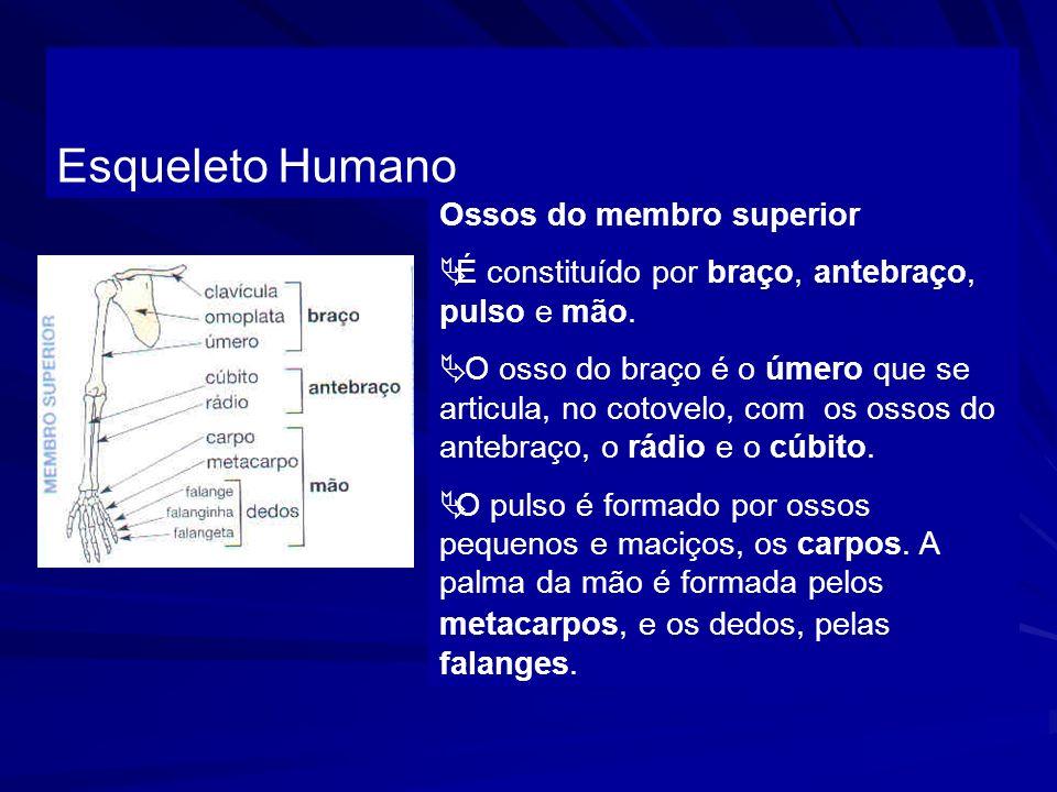 Esqueleto Humano Ossos do membro superior