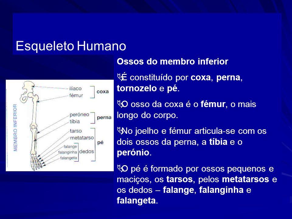 Esqueleto Humano Ossos do membro inferior