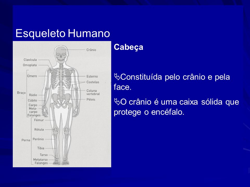 Esqueleto Humano Cabeça Constituída pelo crânio e pela face.