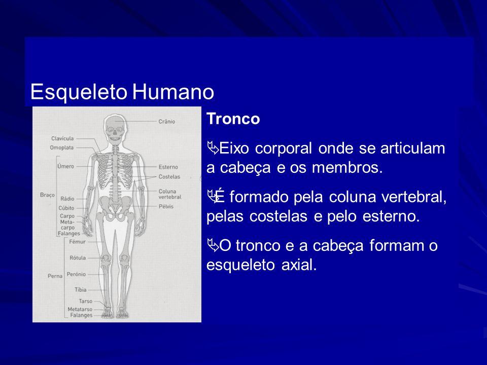 Esqueleto Humano Tronco