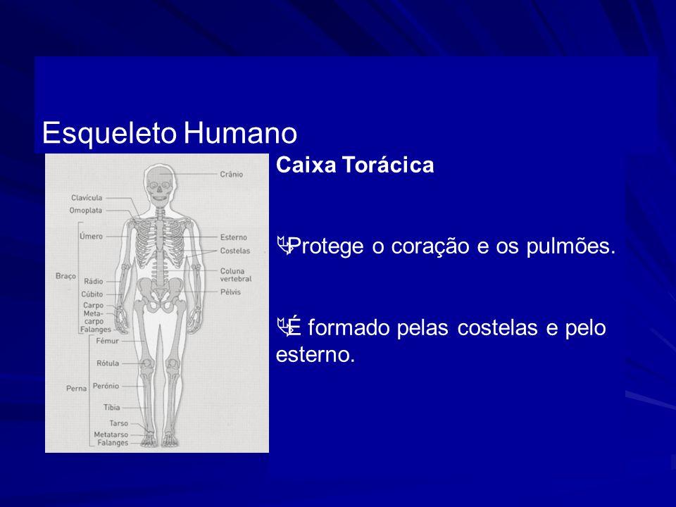 Esqueleto Humano Caixa Torácica Protege o coração e os pulmões.