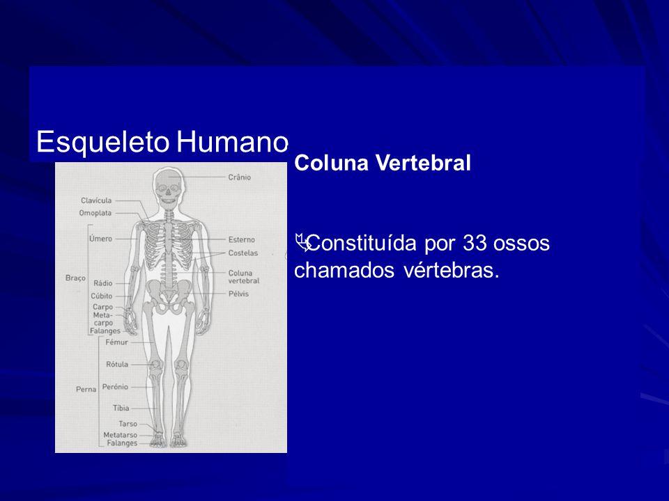 Esqueleto Humano Coluna Vertebral