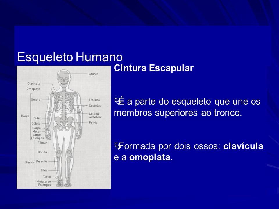 Esqueleto Humano Cintura Escapular