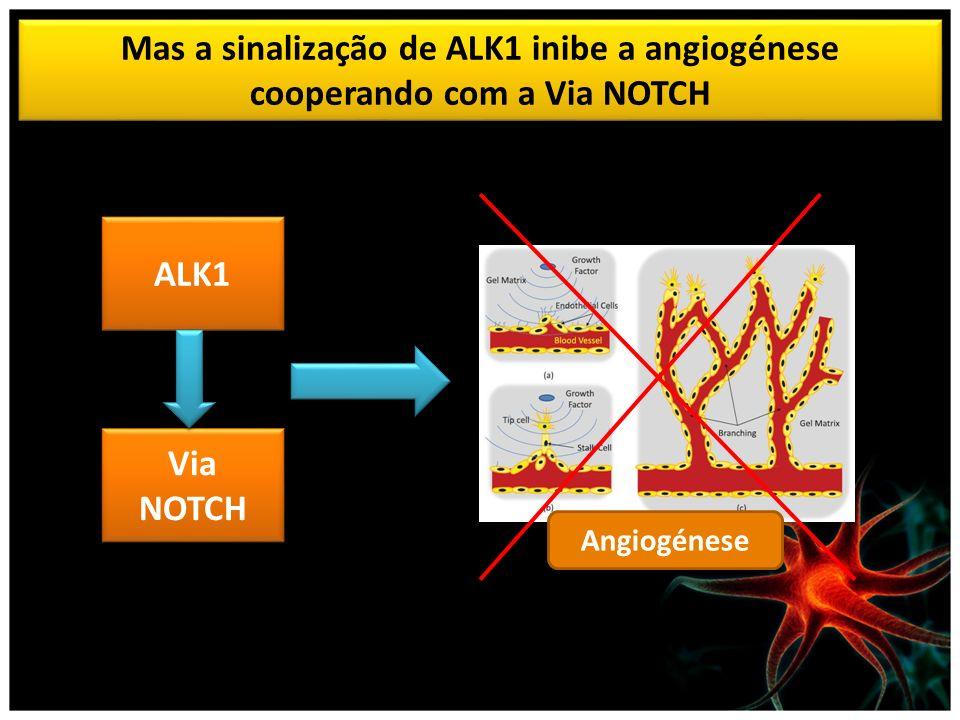 Mas a sinalização de ALK1 inibe a angiogénese cooperando com a Via NOTCH