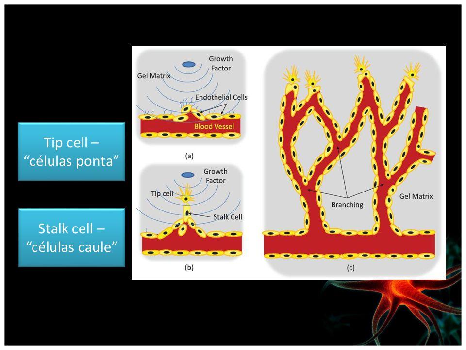 Tip cell – células ponta