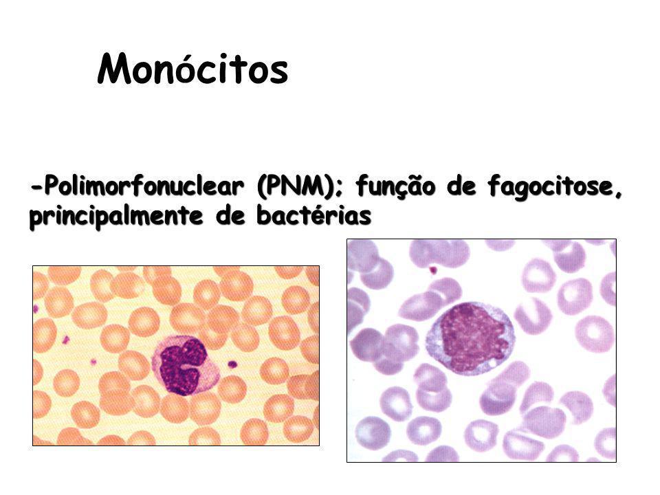 Monócitos -Polimorfonuclear (PNM); função de fagocitose, principalmente de bactérias