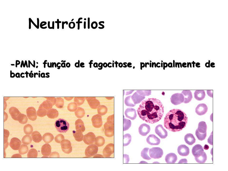 Neutrófilos -PMN; função de fagocitose, principalmente de bactérias