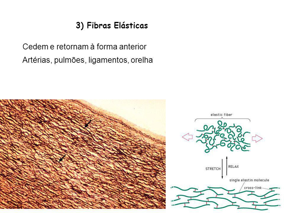 3) Fibras Elásticas Cedem e retornam à forma anterior Artérias, pulmões, ligamentos, orelha