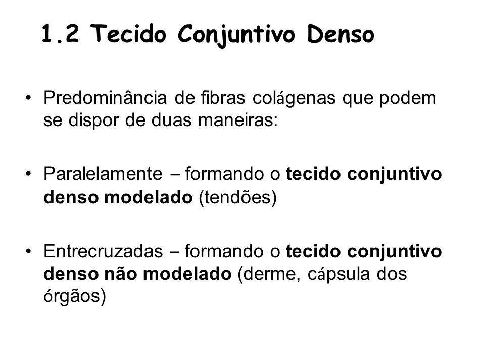 1.2 Tecido Conjuntivo Denso