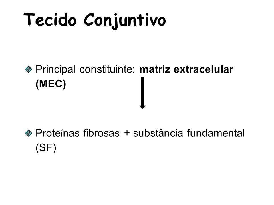 Tecido Conjuntivo Principal constituinte: matriz extracelular (MEC)