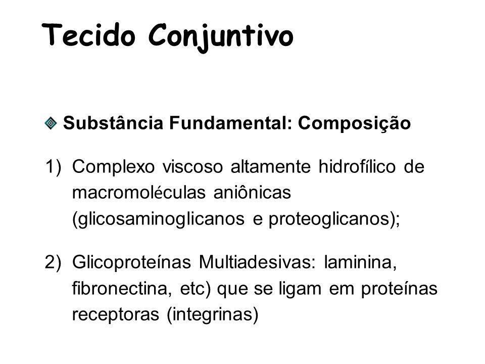 Tecido Conjuntivo Substância Fundamental: Composição