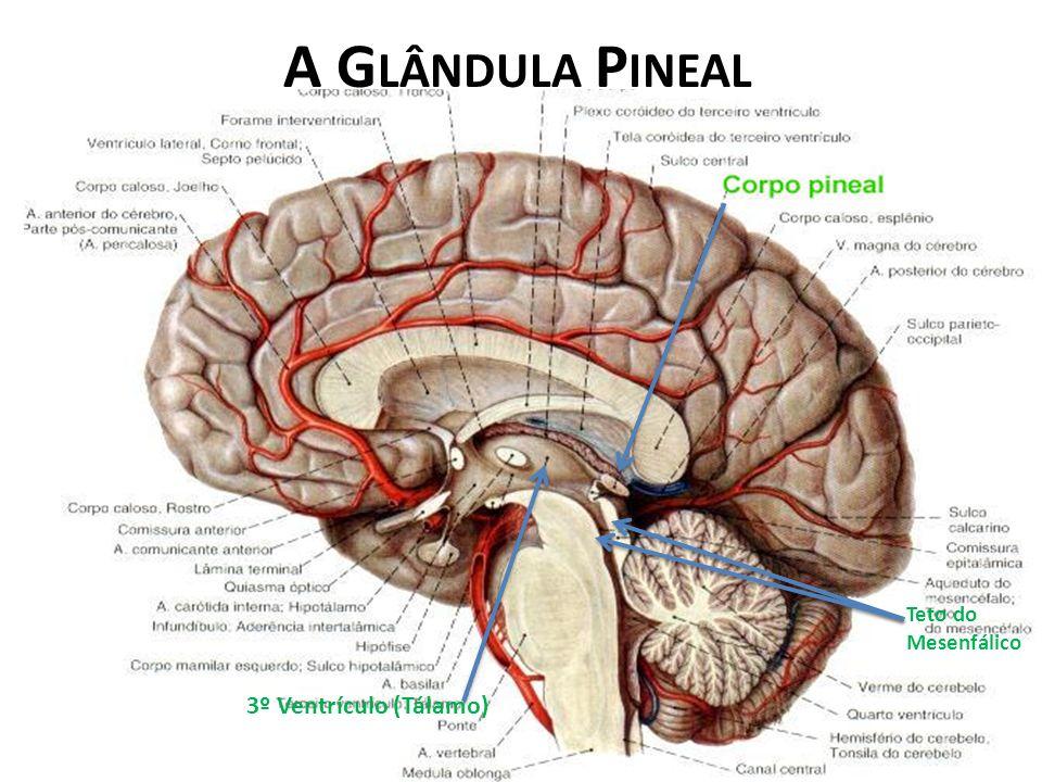 A Glândula Pineal Teto do Mesenfálico 3º Ventrículo (Tálamo)