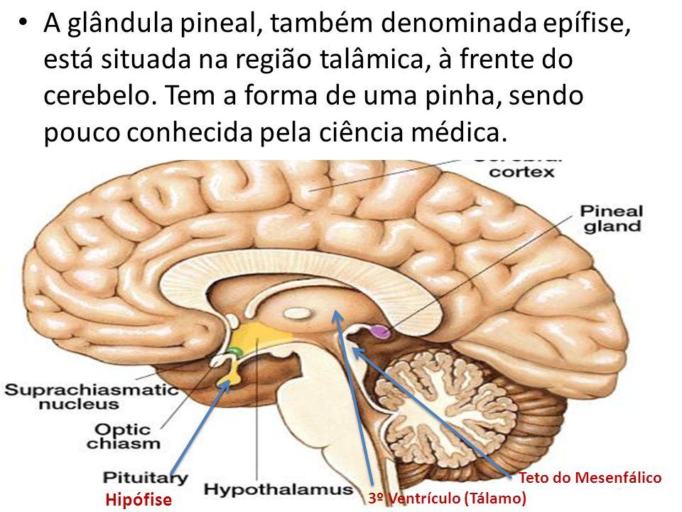 A glândula pineal, também denominada epífise, está situada na região talâmica, à frente do cerebelo. Tem a forma de uma pinha, sendo pouco conhecida pela ciência médica.