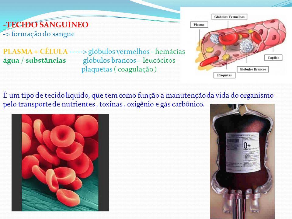 TECIDO SANGUÍNEO > formação do sangue