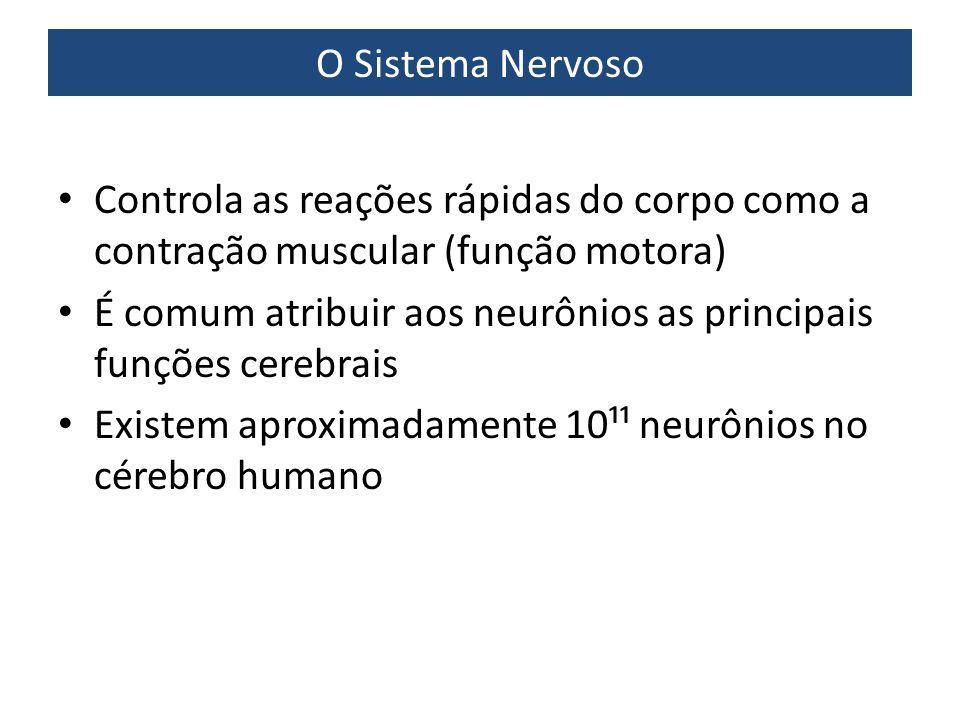 O Sistema Nervoso Controla as reações rápidas do corpo como a contração muscular (função motora)