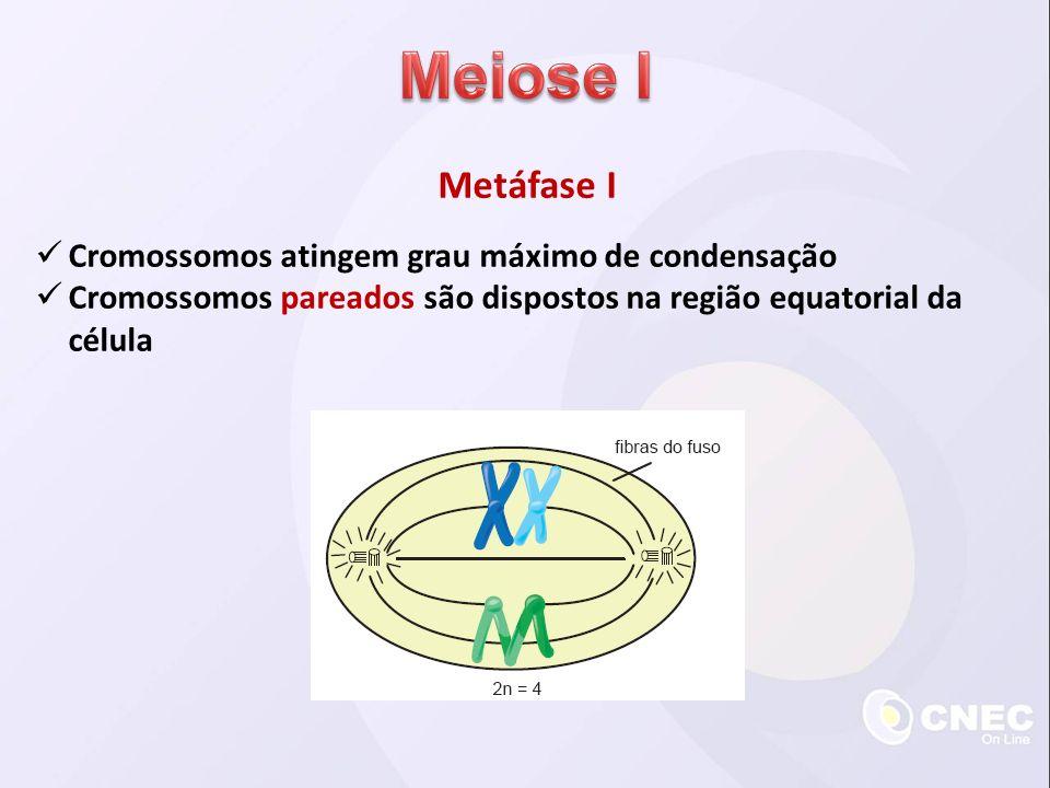 Meiose I Metáfase I Cromossomos atingem grau máximo de condensação