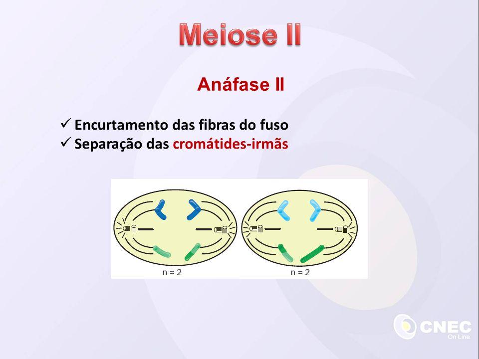 Meiose II Anáfase II Encurtamento das fibras do fuso