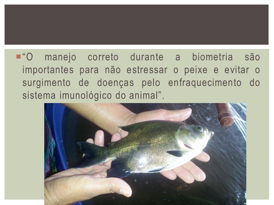 O manejo correto durante a biometria são importantes para não estressar o peixe e evitar o surgimento de doenças pelo enfraquecimento do sistema imunológico do animal .