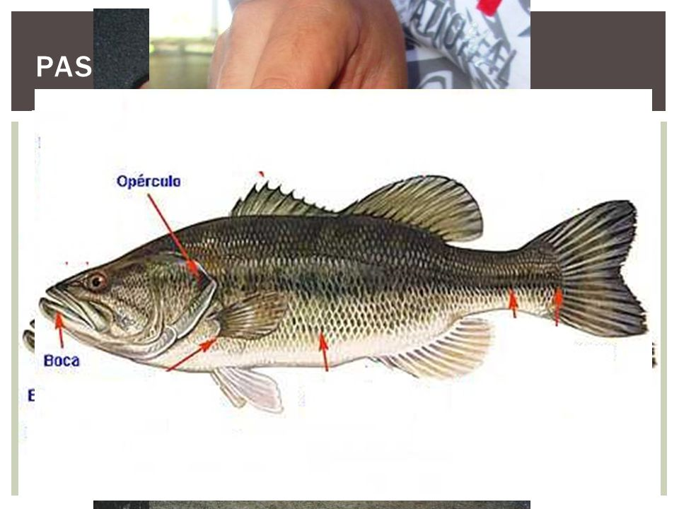 Passos: Para que não haja sofrimento dos peixes é feito a insensibilização utilizando alguns anestésicos, como o Eugenol.