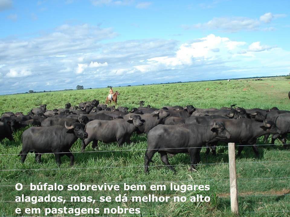 O búfalo sobrevive bem em lugares alagados, mas, se dá melhor no alto e em pastagens nobres