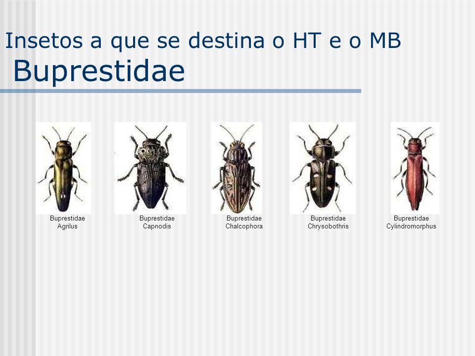 Insetos a que se destina o HT e o MB Buprestidae