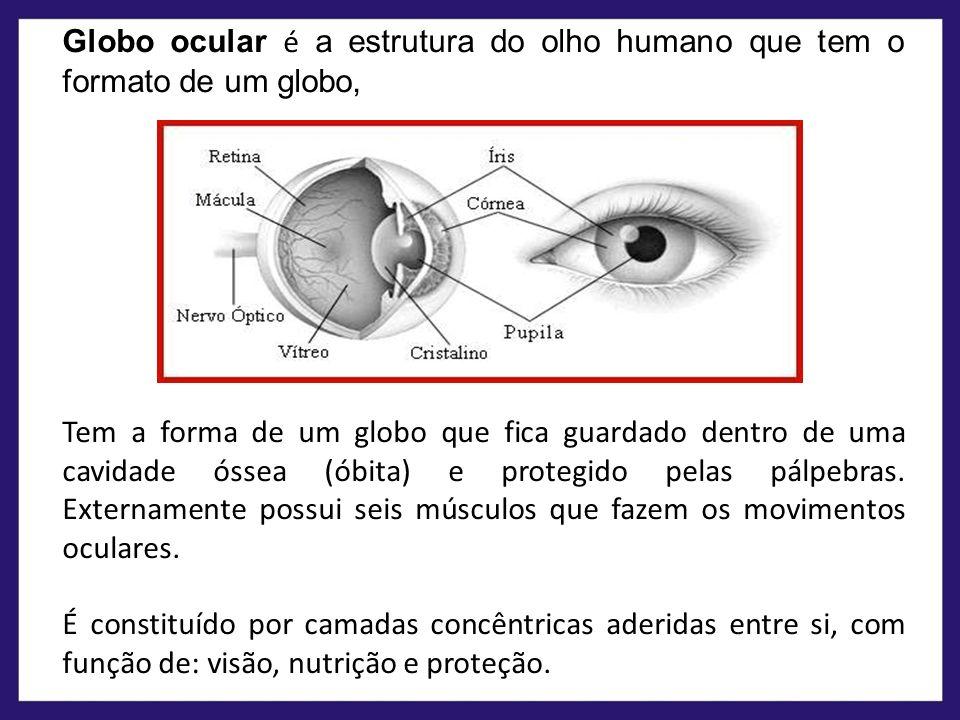 Globo ocular é a estrutura do olho humano que tem o formato de um globo,