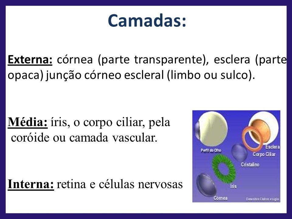 Camadas: Externa: córnea (parte transparente), esclera (parte opaca) junção córneo escleral (limbo ou sulco).