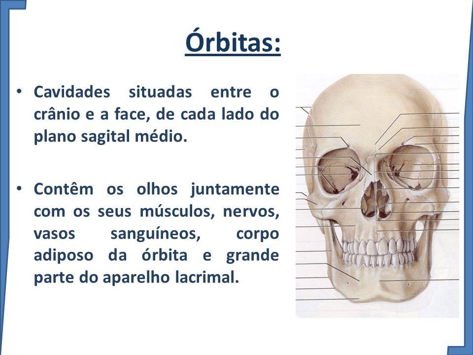 Órbitas: Cavidades situadas entre o crânio e a face, de cada lado do plano sagital médio.