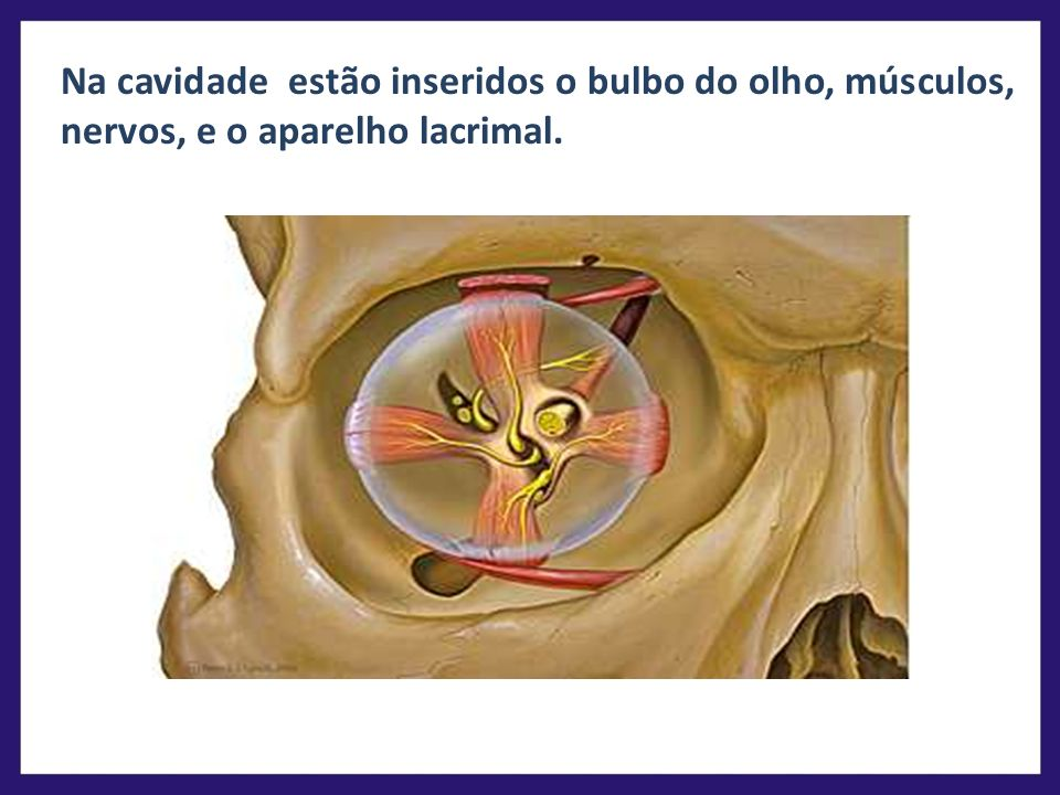 Na cavidade estão inseridos o bulbo do olho, músculos, nervos, e o aparelho lacrimal.