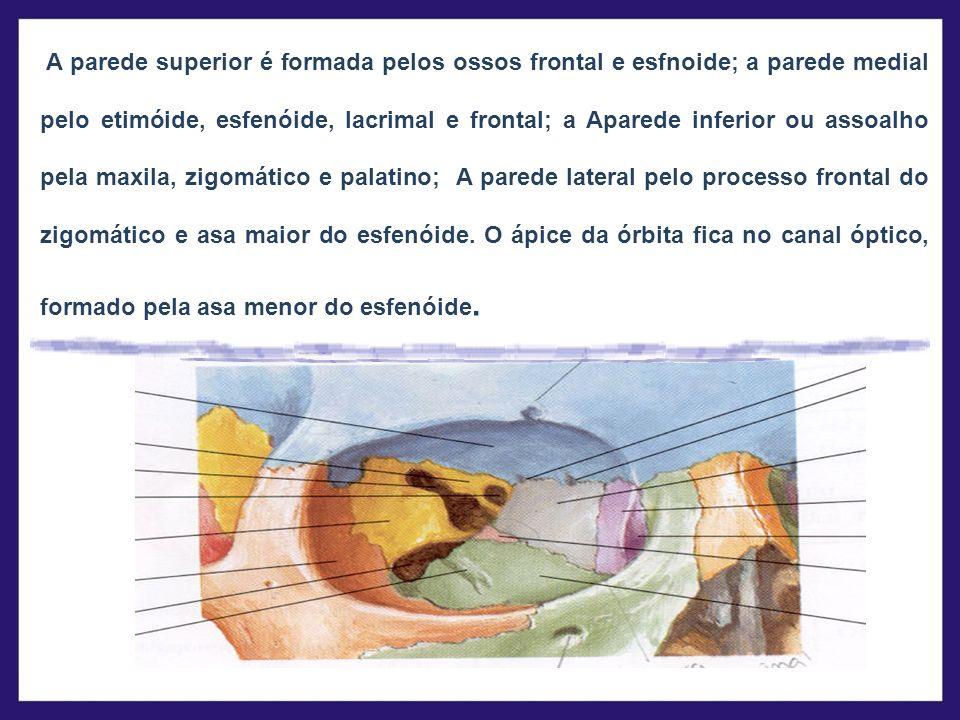 A parede superior é formada pelos ossos frontal e esfnoide; a parede medial pelo etimóide, esfenóide, lacrimal e frontal; a Aparede inferior ou assoalho pela maxila, zigomático e palatino; A parede lateral pelo processo frontal do zigomático e asa maior do esfenóide.
