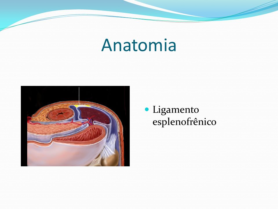 Anatomia Ligamento esplenofrênico