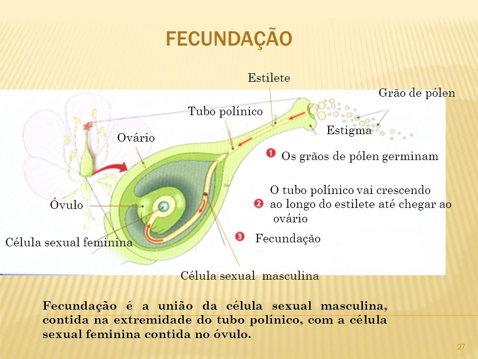 FECUNDAÇÃO Estilete Grão de pólen Tubo polínico Estigma Ovário