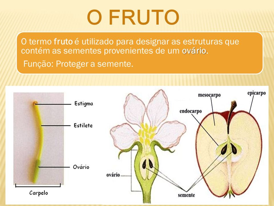 O fruto O termo fruto é utilizado para designar as estruturas que contém as sementes provenientes de um ovário.
