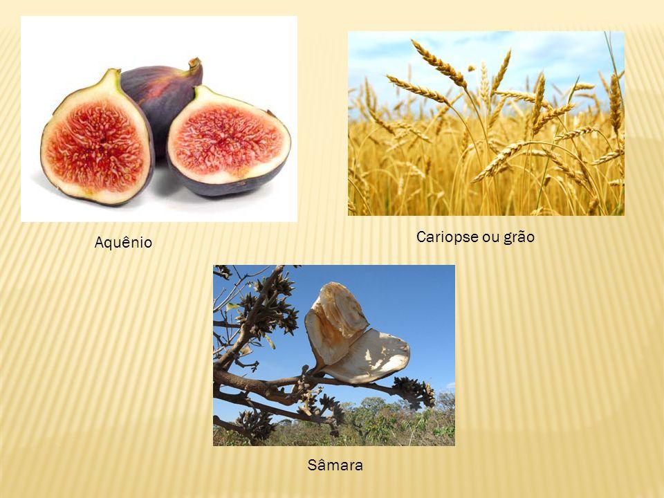 Cariopse ou grão Aquênio Sâmara