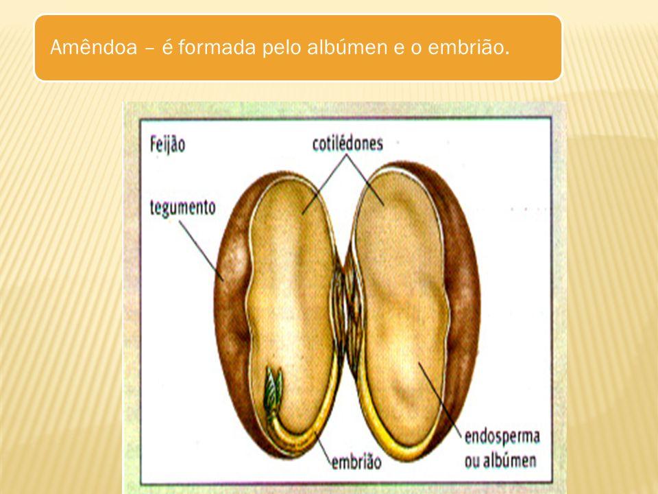 Amêndoa – é formada pelo albúmen e o embrião.