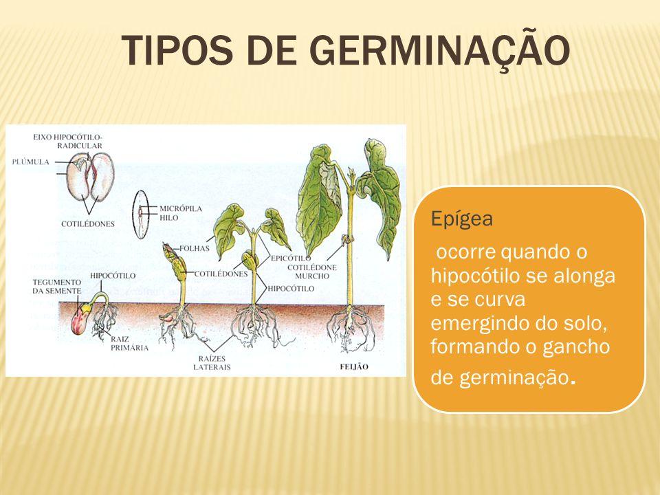TIPOS DE GERMINAÇÃO Epígea