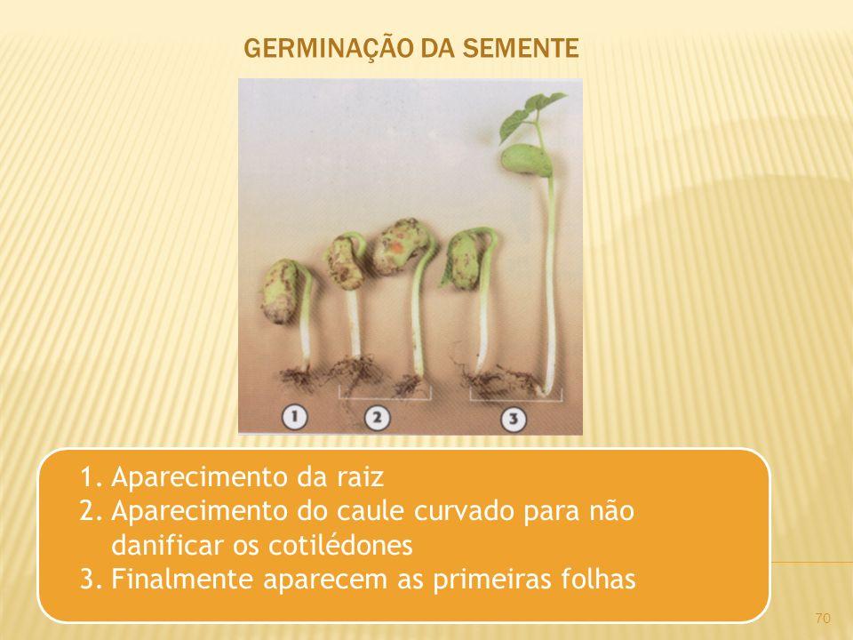 GERMINAÇÃO DA SEMENTE Aparecimento da raiz. Aparecimento do caule curvado para não danificar os cotilédones.