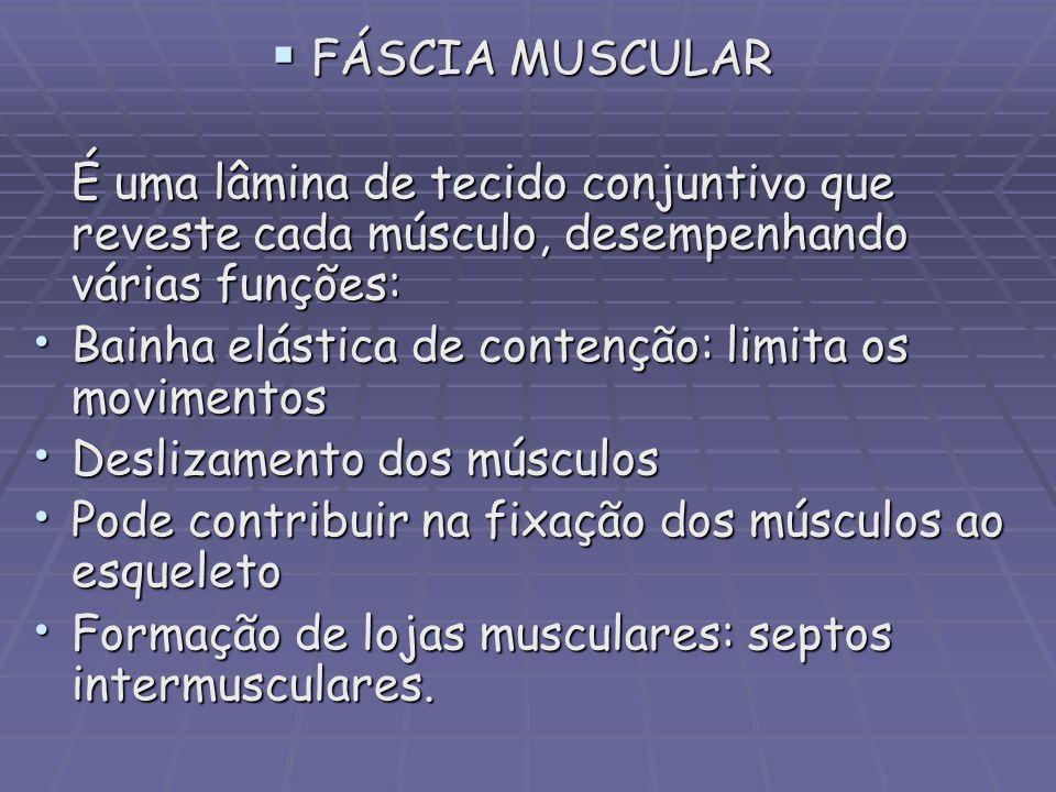 FÁSCIA MUSCULAR É uma lâmina de tecido conjuntivo que reveste cada músculo, desempenhando várias funções: