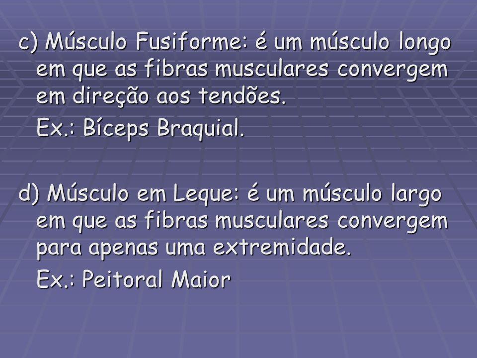 c) Músculo Fusiforme: é um músculo longo em que as fibras musculares convergem em direção aos tendões.