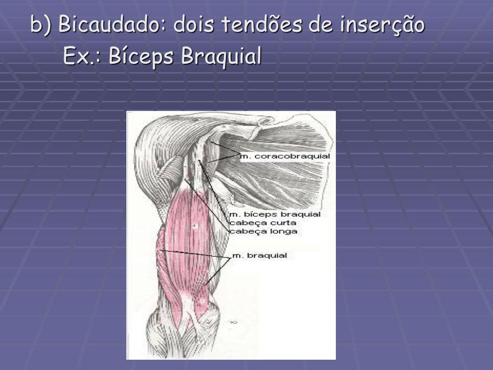 b) Bicaudado: dois tendões de inserção