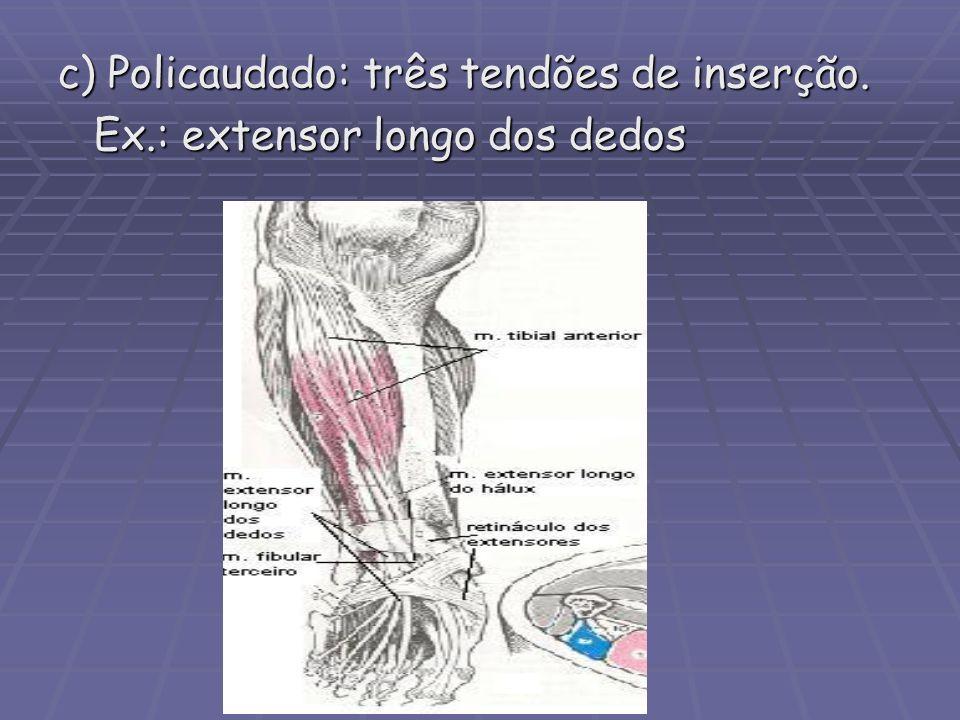 c) Policaudado: três tendões de inserção.
