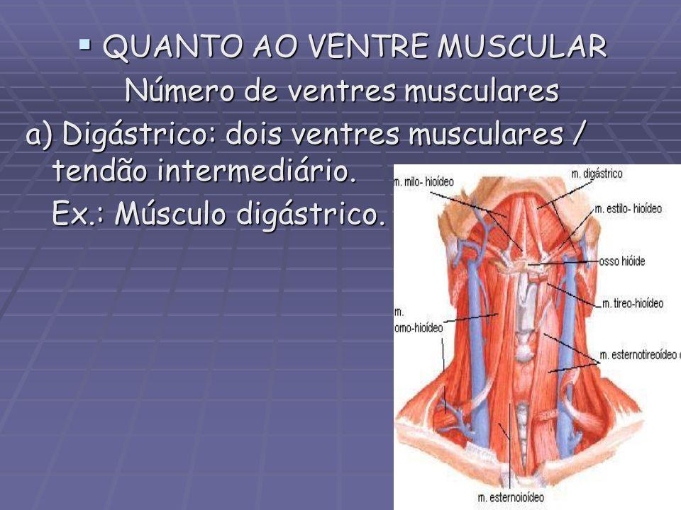 QUANTO AO VENTRE MUSCULAR Número de ventres musculares