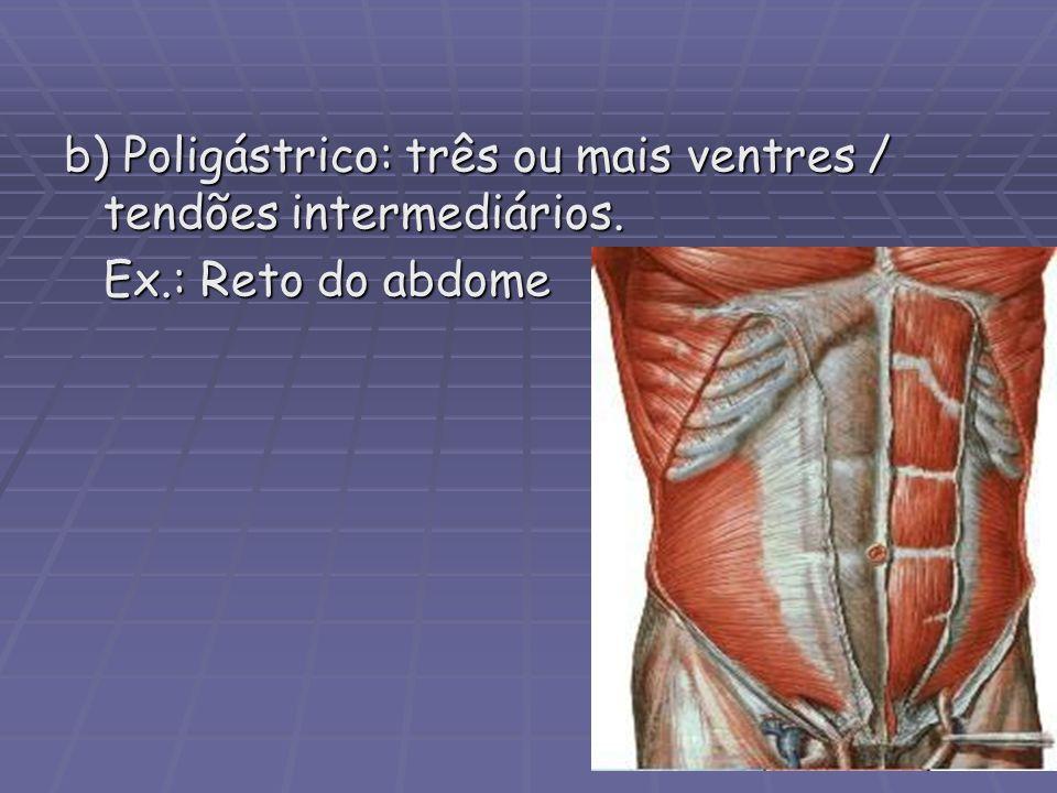 b) Poligástrico: três ou mais ventres / tendões intermediários.