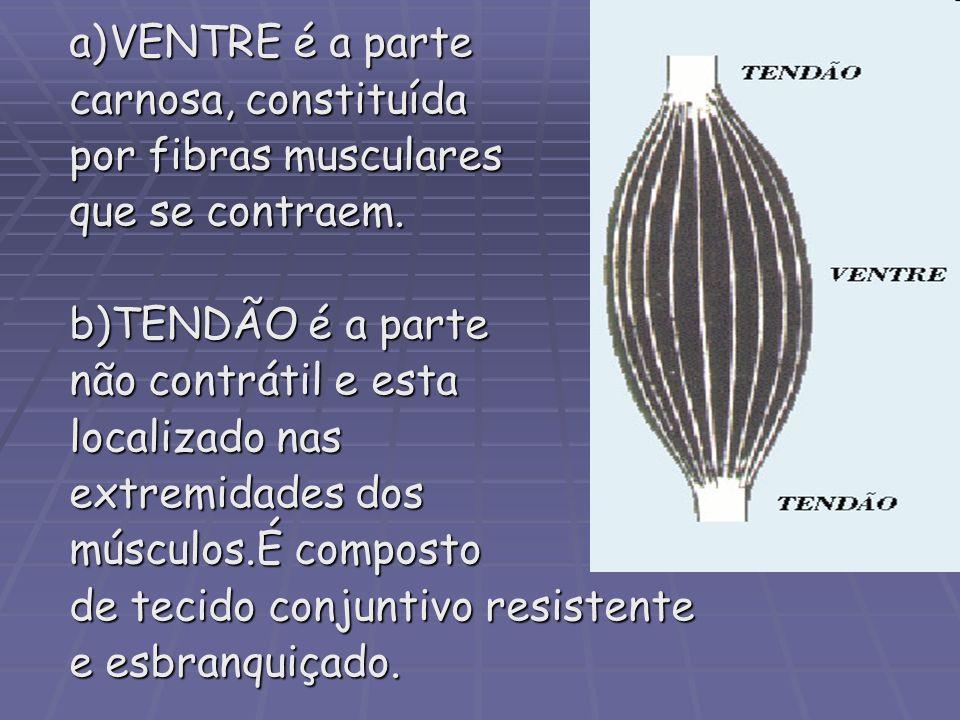 VENTRE é a parte carnosa, constituída. por fibras musculares. que se contraem. b)TENDÃO é a parte.