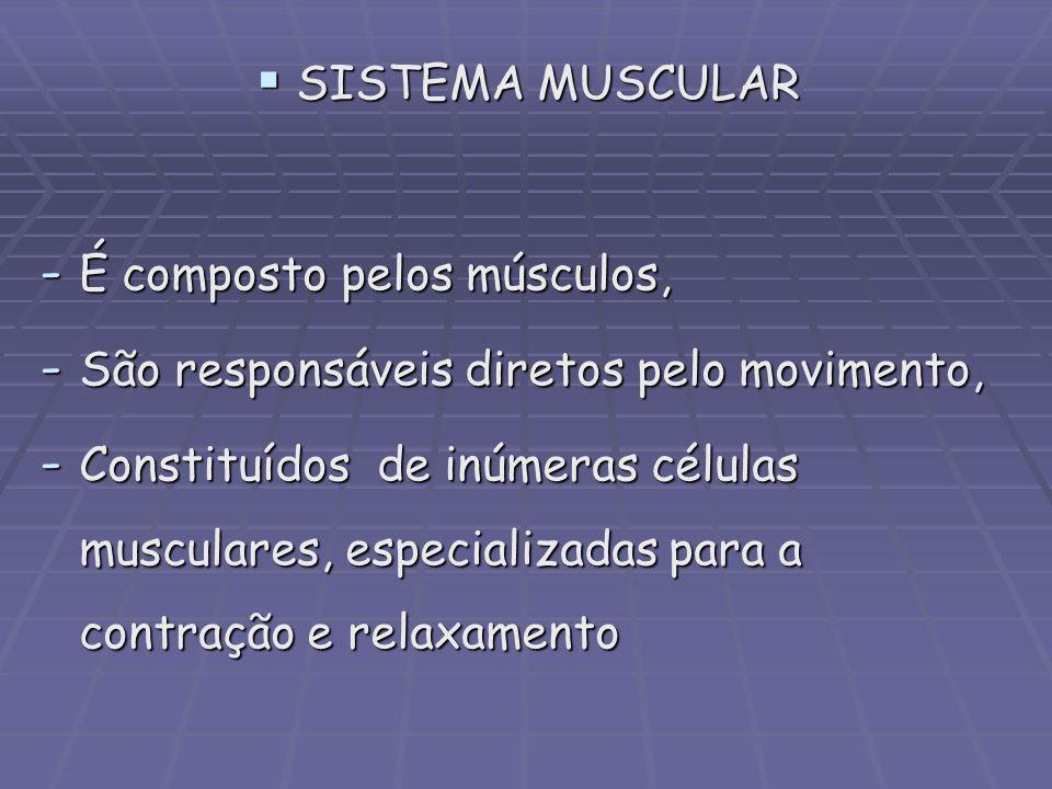 SISTEMA MUSCULAR É composto pelos músculos, São responsáveis diretos pelo movimento,