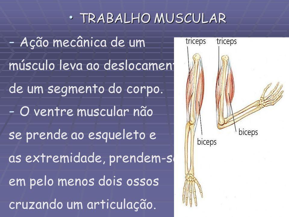 TRABALHO MUSCULAR Ação mecânica de um. músculo leva ao deslocamento. de um segmento do corpo. O ventre muscular não.