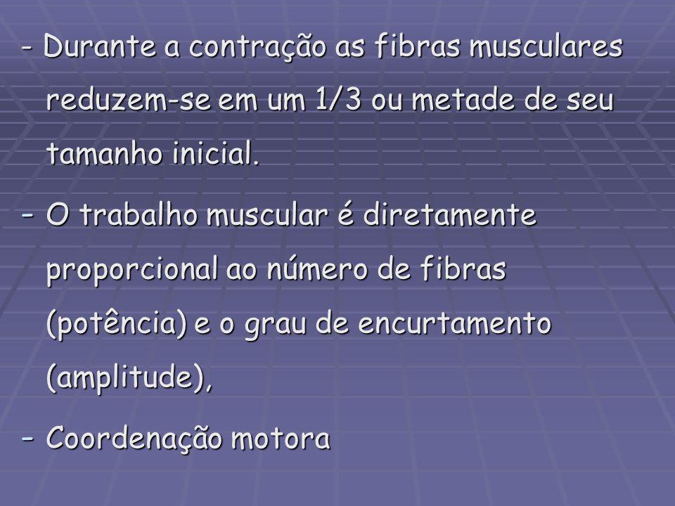 - Durante a contração as fibras musculares reduzem-se em um 1/3 ou metade de seu tamanho inicial.
