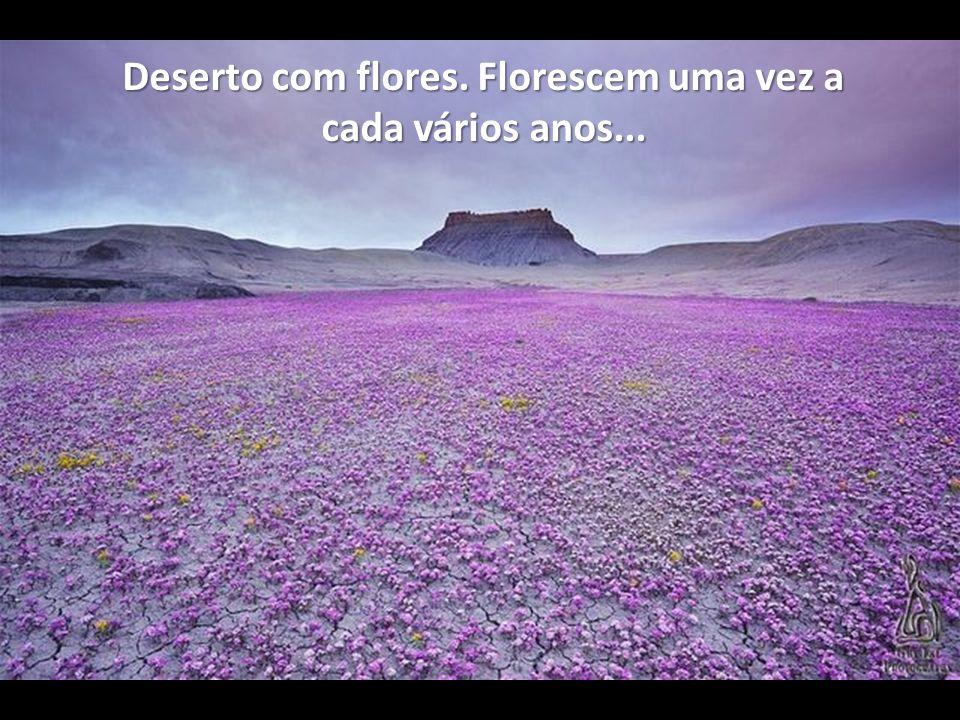 Deserto com flores. Florescem uma vez a cada vários anos...