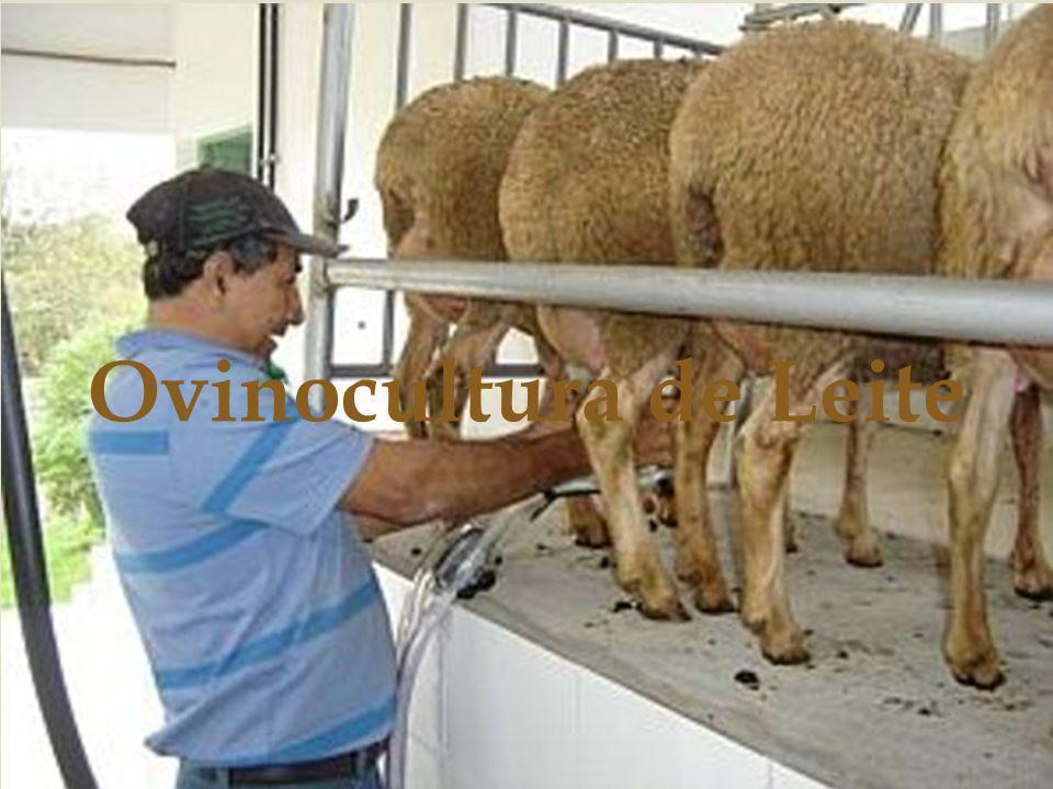 Ovinocultura de Leite