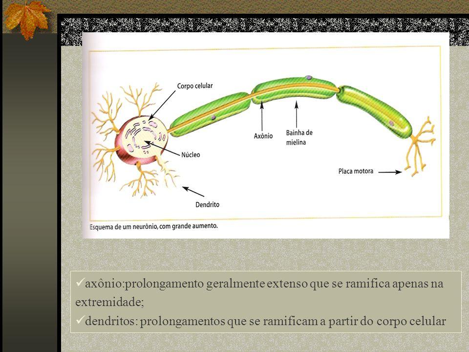 axônio:prolongamento geralmente extenso que se ramifica apenas na extremidade;